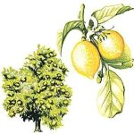 Lemon Essential Oil. Citrus limon. 50ml