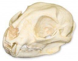 Bobcat Skull (Teaching Quality Replica)