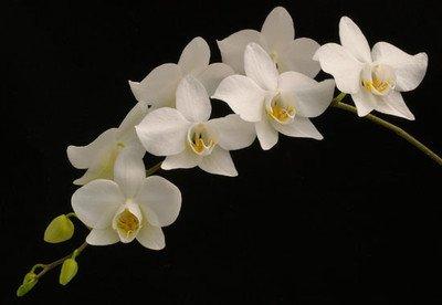 Phalaenopsis aphrodite Orchid Plant [PHAL013]