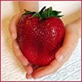 Giant Strawberry Seeds - Fragaria Ananassa- Apple Size Strawberries