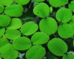Giant Duckweed (pond plant) 1/2 cup