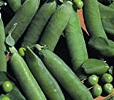 Just Seed Pea - Onward - 40 Seeds - Small Garden Pack