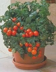 Tomato Patio - Hybrid Great Garden Vegetable 50 Seeds (Tomato Patio compare prices)