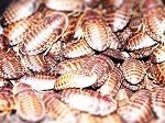 100 Mixed Size Dubia Roaches