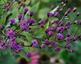 Ironweed (Vernonia arkansana Mammuth)