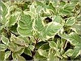 BM Plants Cornus alba 'Elegantissima' AGM , 1L , Dogwood , Shrub