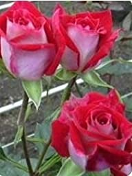 120 Real Fresh Spray Rose, Red Hero
