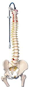 3B Scientific A582 Classic Flexible Spine Model with Femur