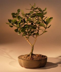 Bonsai Boy's Flowering Tropical Dwarf Apple Bonsai Tree - Large clusia rosea 'nana'