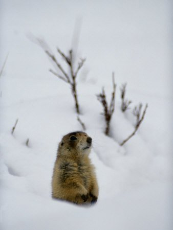 Prairie Dog Pokes Through Heavy Snow