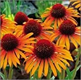BM Plants Echinacea 'Flame Thrower' , 1L , Coneflower , PerennialFragrant