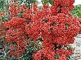 Pyracantha Coccinea Red Column or Firethorn Shrub