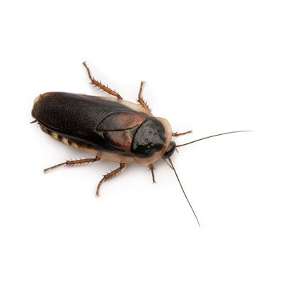 small-dubia-cockroaches-7-10mm-aprox-20-per-tub
