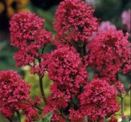 40 centranthus red jupiter 39 s beard flower Plants that love sun and heat