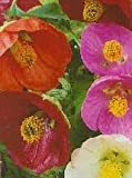 Sycamore Trading FLOWERING MAPLE Seeds Abutilon hybridum