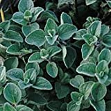Oregano Herb 500 Seeds - GARDEN FRESH PACK!