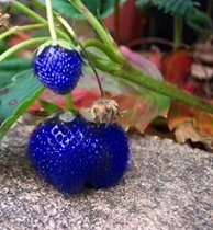100 Strawberry Seeds, Blue Albion Strawberry, ©Idahoseeds, Strawberry Plant