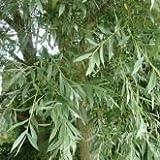 5 x Salix Alba (White Willow) 60-90cm bareroot (a143)