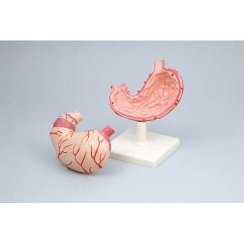 胃の構造模型