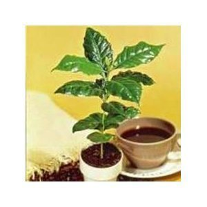 Kona Coffee Bean 15 Tree Seeds -Coffea-gourmet-tropical