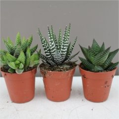 haworthia-mixed-trio-ideal-gift-plant-for-birthdays-and-thank-yous-easy-care-plant-for-home-or-offic