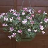 Sweet Pea - Cupid Pink - 25 Seeds