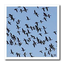 Canada Geese, Branta canadensis - 10x10 Iron On Heat Transfer For White Material