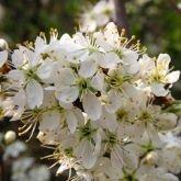 250 x Prunus Spinosa (Blackthorn) 60-90cm bareroot (a132)