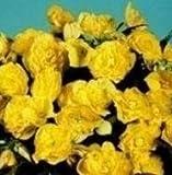 Begonia - Panorama Yellow - 15 Seeds