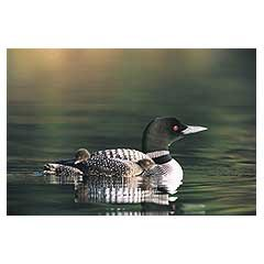 Buy common loon jigsaw puzzle