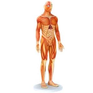 Anatomischer Körper Mann Deko Dekoration