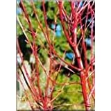 Sango Kaku Coral Bark Japanese Maple - 1 Year Graft