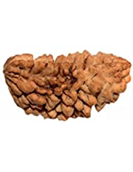 AKSAYA MARKETING NATURAL 1 MUKHI RUDRAKSHA (one Face) 24 Mm (2.16 Gms)