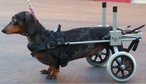 Dog Wheelchair For Small Dog By Huggiecart. Approximate Weight 18 To 40 Lbs front-464810