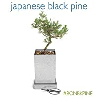 Japanese Black Pine Bonsai Box