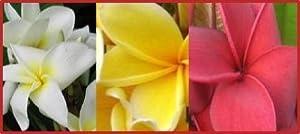 Multi Colored Plumeria Plant - Nothing Else Like It!
