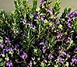 Roman Beauty Rosemary -- 6 by 6 Inch Container