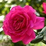 バラ苗 王妃アントワネット (ベルサイユのばらシリーズ) 国産大苗6号スリット鉢 ハイブリッドティー (HT) 四季咲き大輪 ピンク系