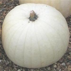 seekay-pumpkin-snowman-10-seeds-vegetable