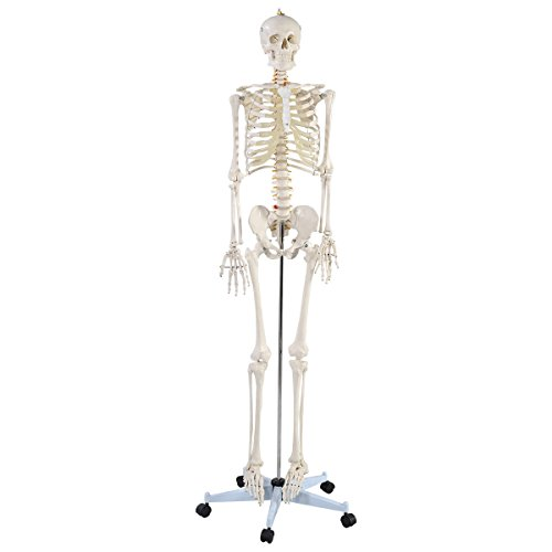 Life Size Medical Anatomical Human Skeleton Model with Rolling Stand, Removable and Movable Parts, Perfect for Doctors, Chiropractors, Acupuncturist, Physical Therapist Office (Medical Models compare prices)