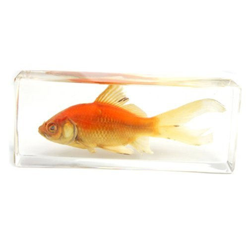 common-goldfish-paperweight-44x16x11-by-realbug