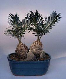 Sago Palm Bonsai Tree.Double Trunk.(cycas revoluta) - Buy Sago Palm Bonsai Tree.Double Trunk.(cycas revoluta) - Purchase Sago Palm Bonsai Tree.Double Trunk.(cycas revoluta) (Home, Home & Garden,Categories,Patio Lawn & Garden,Plants & Planting,Outdoor Plants,Outdoor Bonsai)