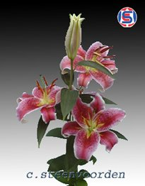 Oriental Lillies Stargazer 100 Flowers