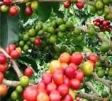 House Plant - Coffea arabica nana - Coffee Plant - 15 Seeds