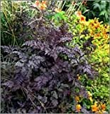 BM Plants Anthriscus 'Raven's Wing' , 1L , Black Cow Parsley , Perennial