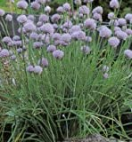 CHIVES - CIPOLLINA - 800 FINEST ITALIAN SEEDS