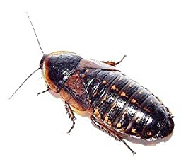 Live Dubia Roaches for Feeding Reptiles (500, Small 1/2)
