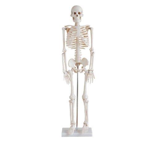 人体骨格模型 45cm  HUMAN SKULL 全身骨格 (完成品) 直立型 スタンド仕様  骨格標本 人体模型