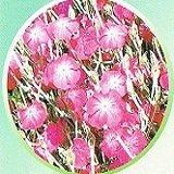 【耐寒性】【宿根草】 リクニス アトロサンギネア 2株セット 【イングリッシュガーデン】