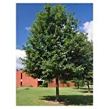 Cherrybark Oak Tree - Southern Red - Established - 1 Gallon Potted - 1 Plant